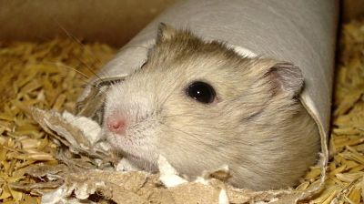 Fotos de hamsters