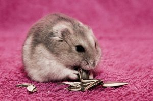 Pipas hamster obeso